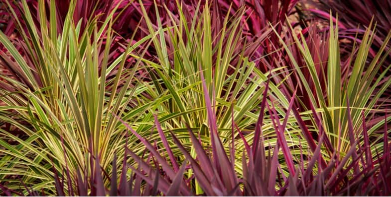 Growing Cordylines – Cordyline Care Guide