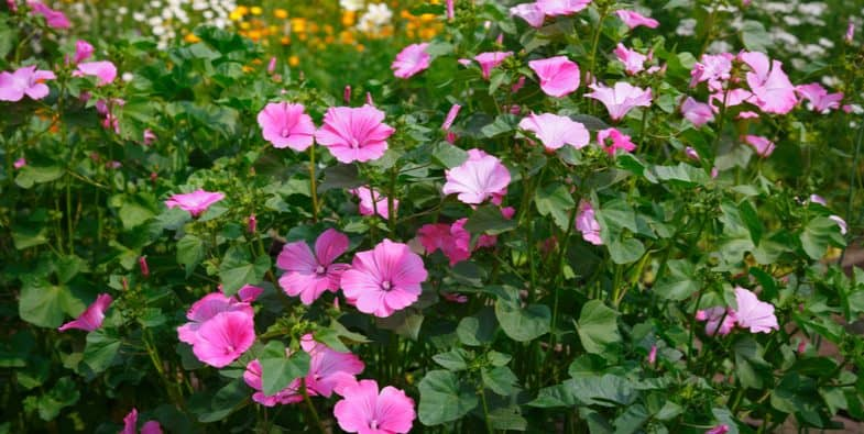 Growing lavatera – Planting, Care, Feeding and More