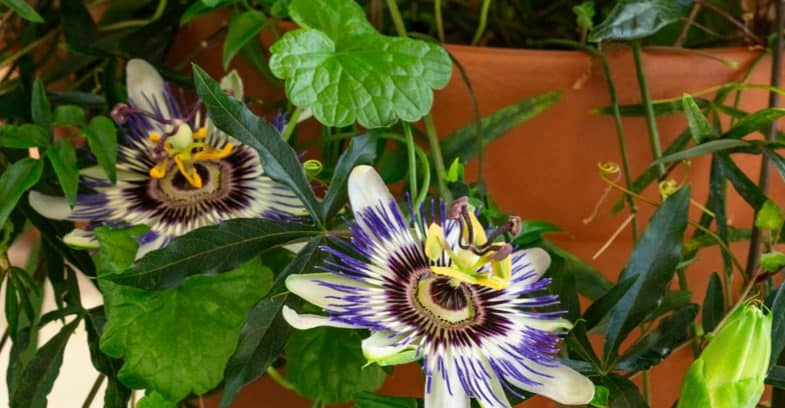 Growing passion flowers in pots and containers
