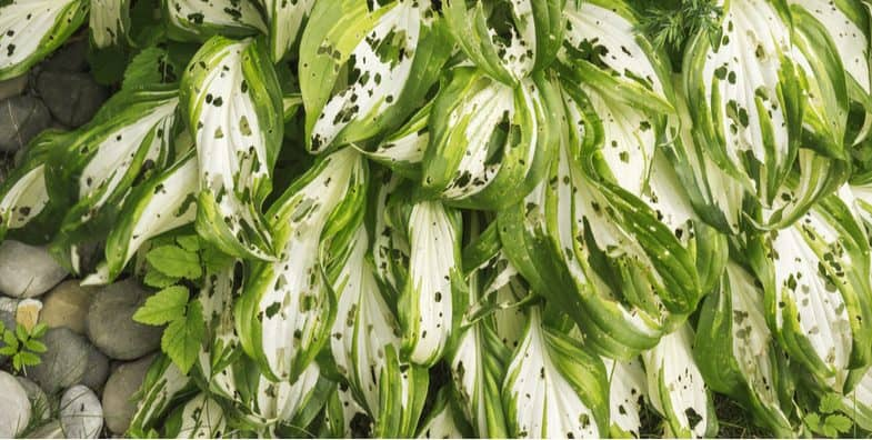 Hosta problems – pests, diseases and other problem