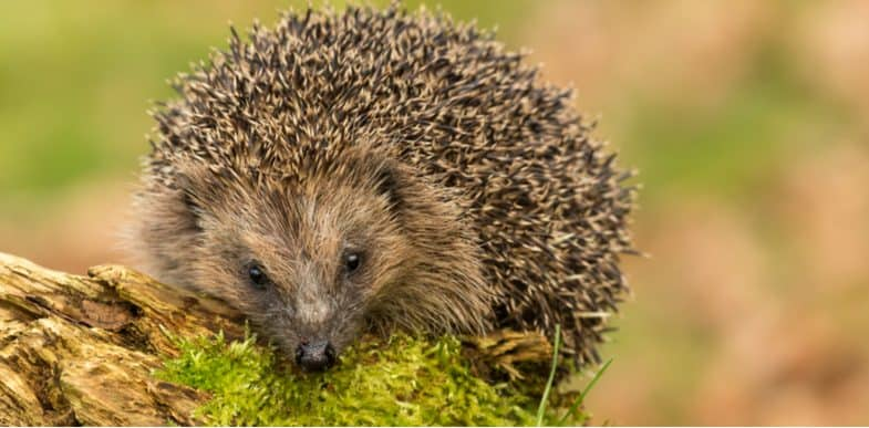How to attract hedgehogs into your garden