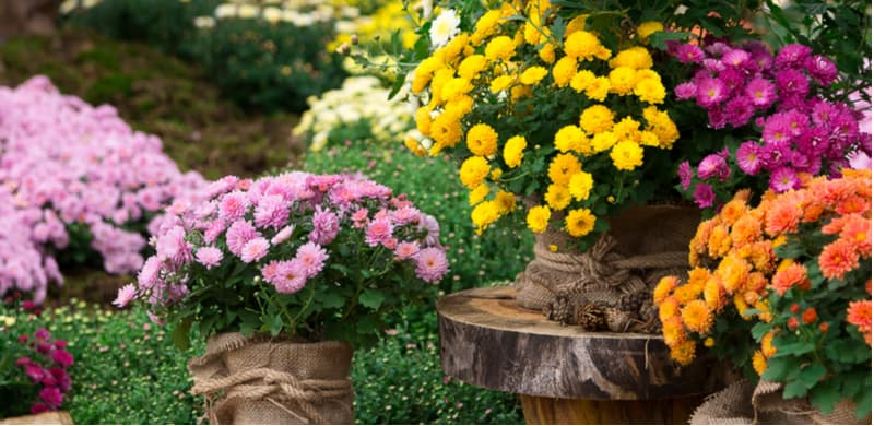 Learn how to grow chrysanthemums from choosing the right types, planting, overwintering, taking cuttings, pruning and more. Caring for chrysanthemums. Learn more
