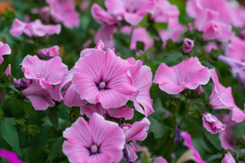 planting Lavatera. Plant in any well-drained soil in a sheltered area