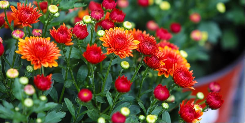 How to take chrysanthemum cuttings