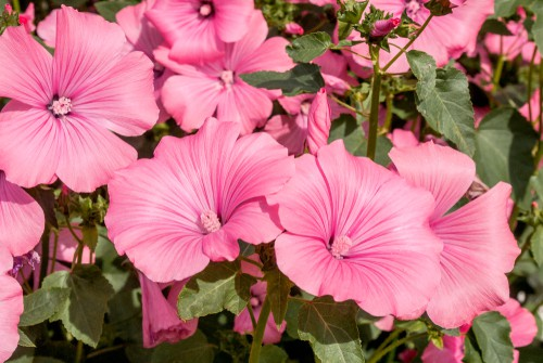 Lavatera care. Dead head flowers and water in times of dry weather