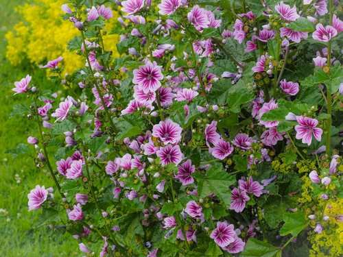 Lavatera problem. Pests and diseases