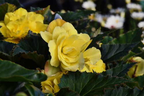 Non-stop begonias (Ideal for containers)