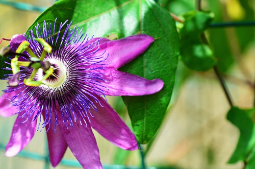 Passiflora Amethyst offers large purple flowers with central filaments of purple, blue and white appear from July to September flowers, as they age, get deeper and richer in tone. This is a deciduous variety which is hardy and will grow well in a sheltered position in full sun or partial shade.