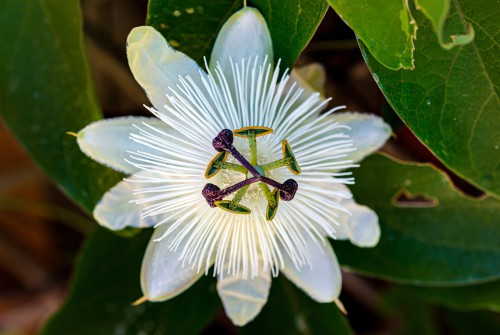 Passiflora Constance Elliot is white hardy variety but the blooms are heavily fragrant and grow well in in a sheltered position in the ground as well as containers.