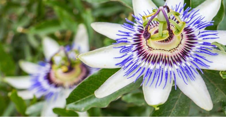 Passion flower pruning – Pruning and training