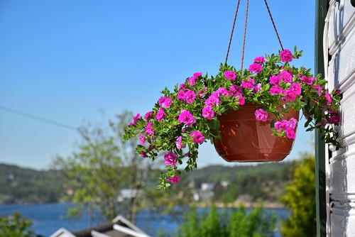 Surfinia hanging basket