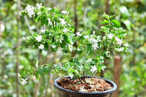 Taking hardwood cutting from Jasmine