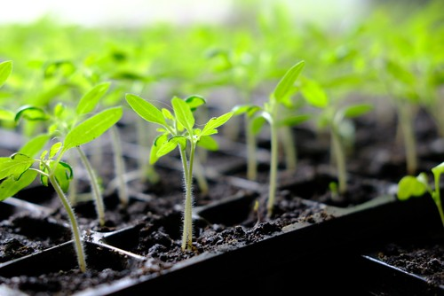 Sow vegetables such as tomatoes, lettuce