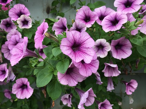water and feeding lavatera. water during dry spells and feed to a general fertiliser during the growing season