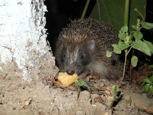What hedgehogs eat in the wild. Hedgehogs typically eat things like worms, beetles, slugs, and bugs but they will also eat seeds.