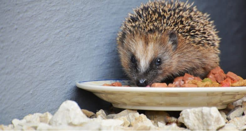 What to feed hedgehogs – The do's and the don'ts