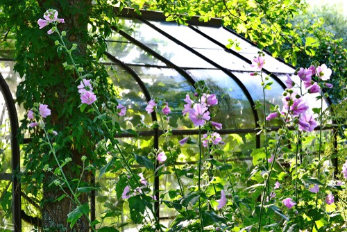 When to prune lavatera - prune hard in early to mind spring