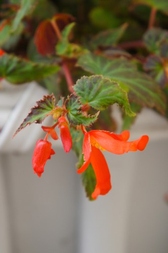 begonia million kisses have a semi-trailing design making them perfect for large containers or hanging baskets.