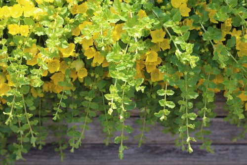 Lysimachia nummularia 'Aurea' (creeping Jenny) are stunning and can be planted toward the back as a backdrop of colour