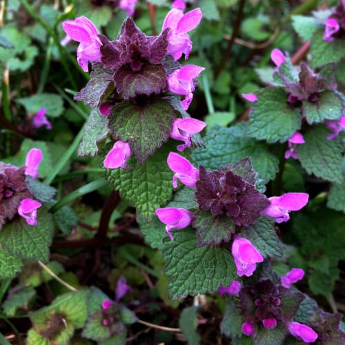 If you want a lush perennial that will grow quite vigorously and give you an array of flowers, catmint, lamium, Heuchera, Hosta and Lady's mantle are perfect for planting on containers to place on a balcony.