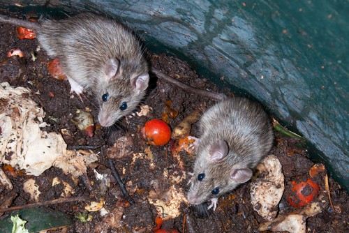 How to avoid attracting mice and rat to a compost bin
