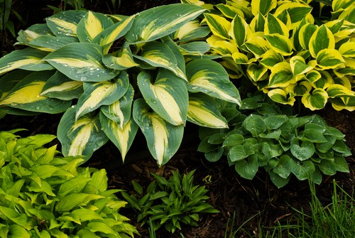 How to plant Hostas