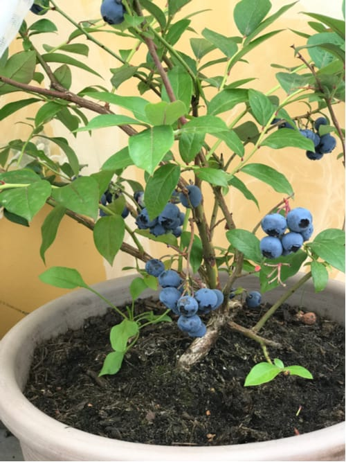 Caring blueberries in containers