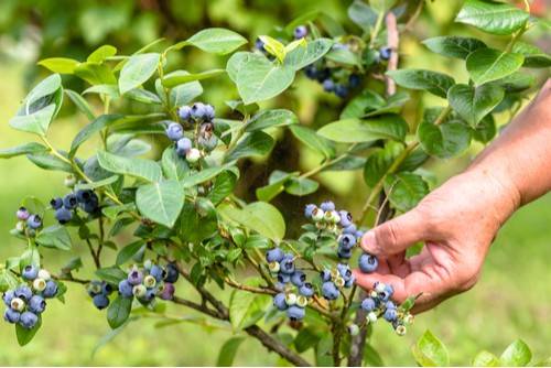 Caring for blueberries