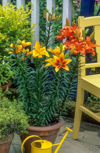 Caring for potted lilies over winter. Move pots into a cold greenhouse or shed fir winter and bring outdoors in spring and start watering again
