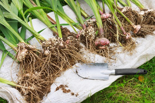 digging up gladioli after flowering to store over winter