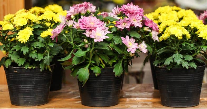 Growing chrysanthemums in pots and containers