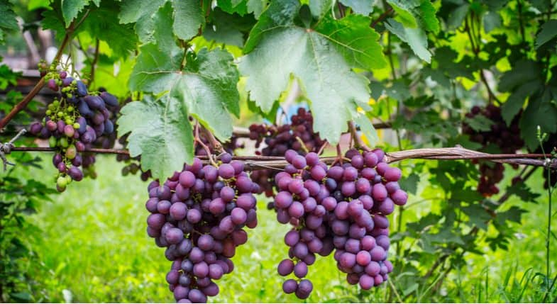 Growing grapes – How to plant, grow and train grapes vines