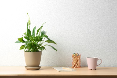How long should peace lilies flower for