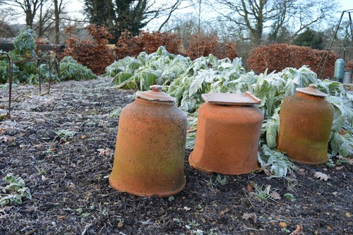 how to force rhubarb. place a large pot or rhubarb forcer over plants in spring