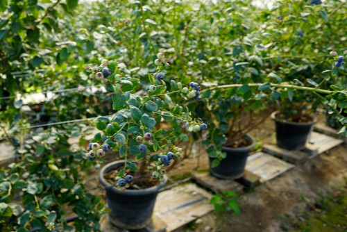 blueberries growing in pots
