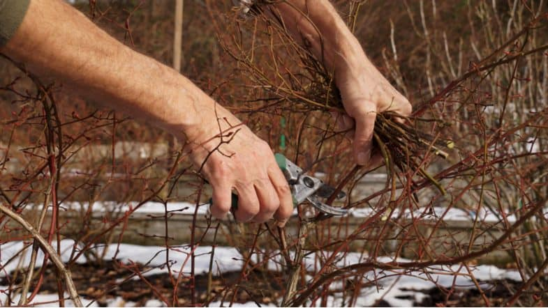 Pruning blueberries – How and when to prune blueberry plants for a better crop