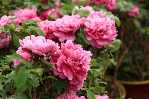 How to prune tree peonies. Remove dead flowers by pruning just below flower to fresh growth and cut back stem by one third in spring
