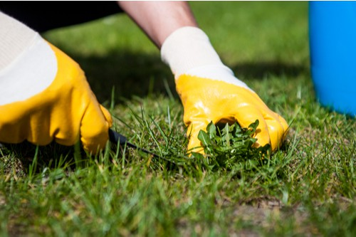 Remove weeds from lawns using weed puller and applying a weed and feed in spring and autumn