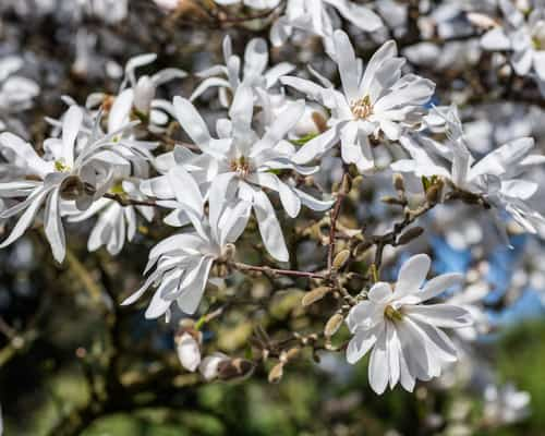 Planting a magnolia stellata in a container
