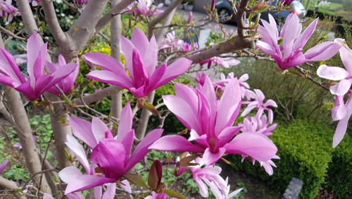 Another variety is the Magnolia Susan which reaches a full mature height and spread of around 3 meters when grown in the ground and much smaller in containers.