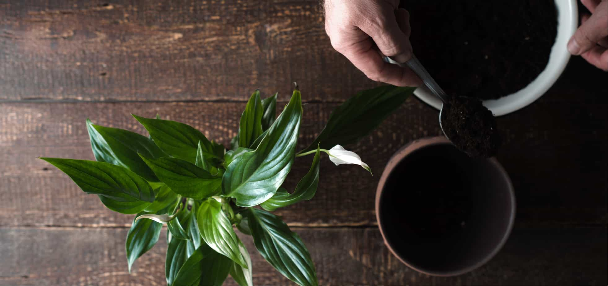 Peace Lily Care Guide How To Plant And Care For Peace Lilies