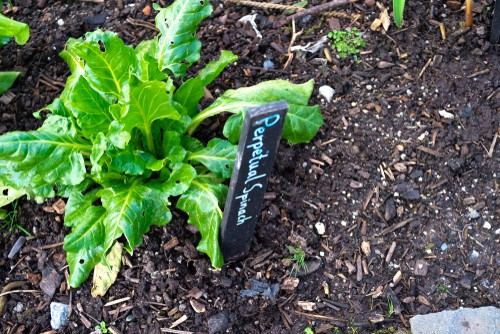 Perpetual Spinach for growing over winter