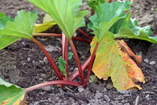 how to plant rhubarb. plant rhubarb crowns just in the surface of the soil spaces 1 meter apart and in rows 30cm apart