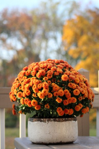 Planting your chrysanthemums in containers. Plant in John Innes compost in a pot slightly larger than the plant in a sunny position.