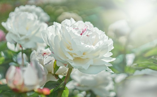 Planting peonies in pots. Use free draining soil and only plant with the tuber just under the surface of the soil. Planting it to late can cause issues with poor flowering