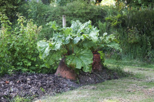 planting rhubarb in pots. Choose a large pot that is deep and wide.