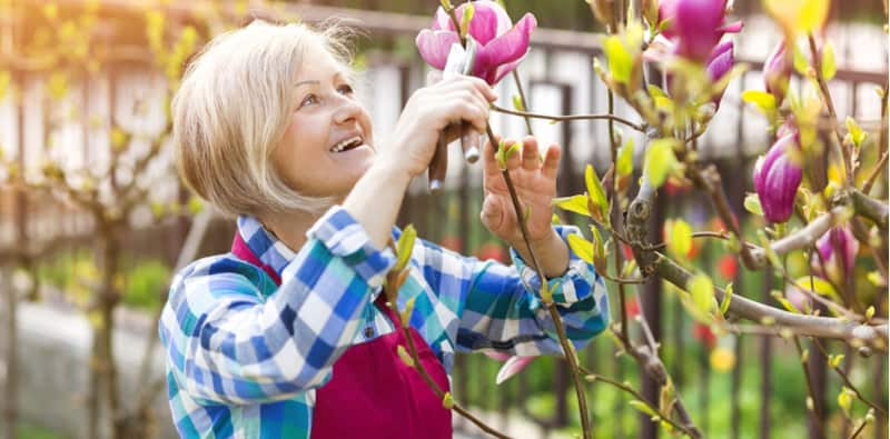 Magnolias don't require much pruning but they can benefit from it in terms of maintaining shape and size. Different types need pruning at different time. Learn more