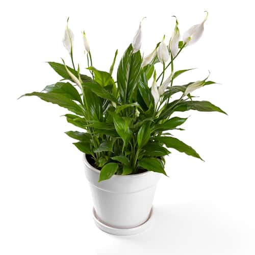 Watering peace lilies correctly