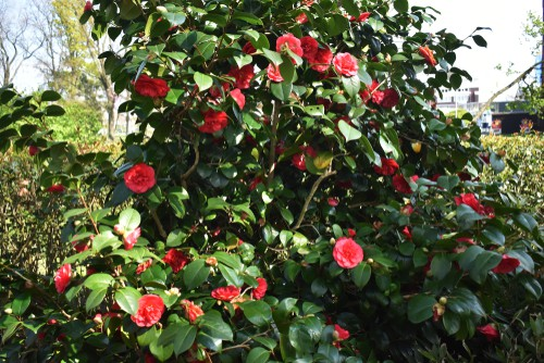 what causes camellias to not flower