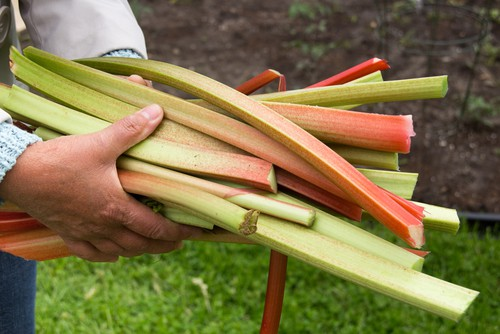 When to harvest rhubarb. You can get early cultivars of rhubarb that can be picked around March or April and later main crop cultivars can be picked around late April to May but you can pick it until July and August.